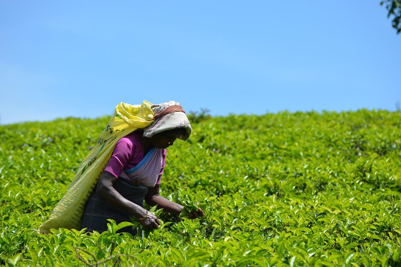 高血圧に有効なお茶とは?の画像