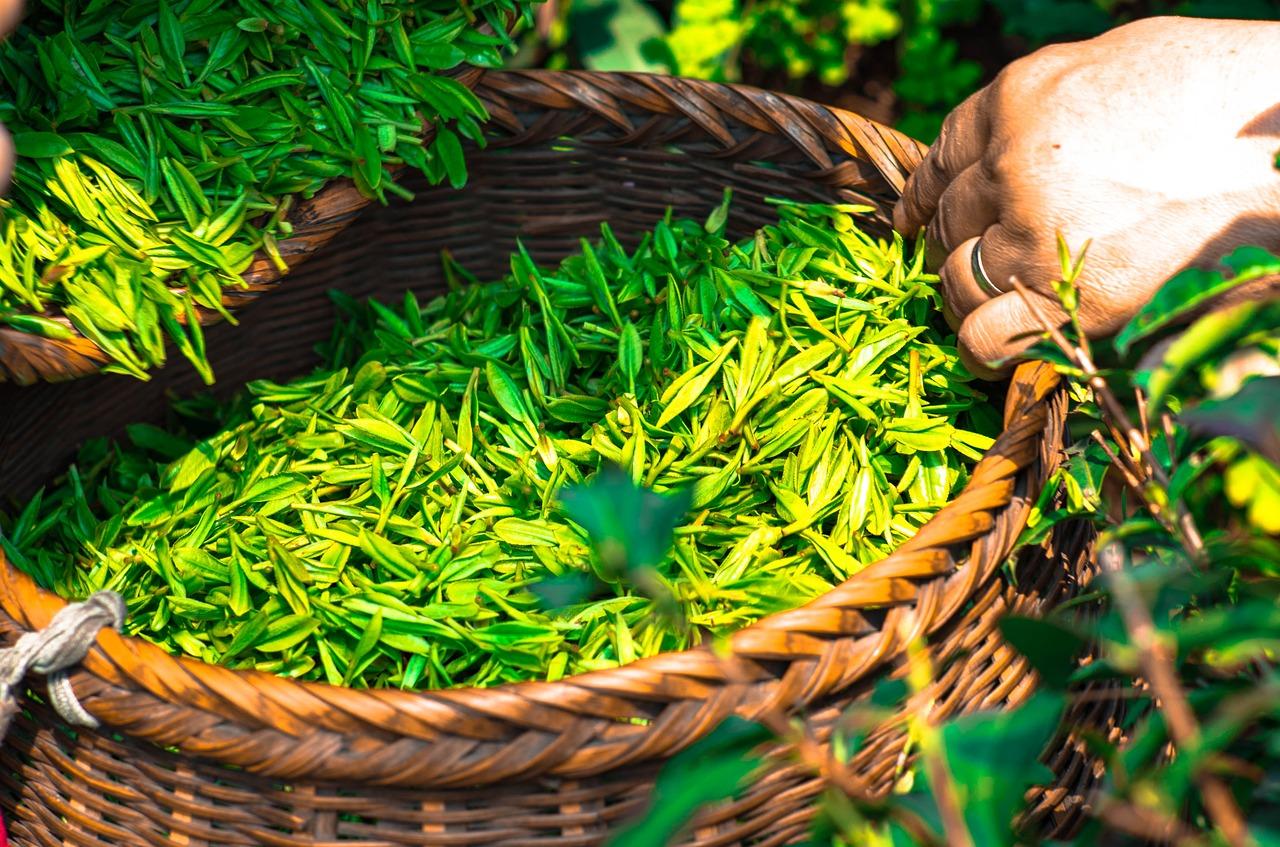メタボ対策にはお茶が効果的の画像